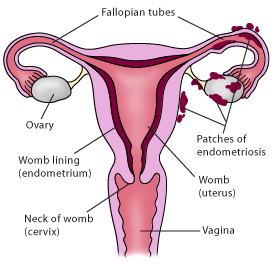Function Of Uterus